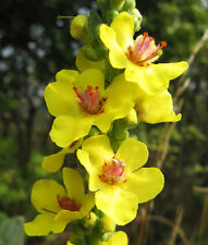 150 Yellow Verbascum Thapsus Common Mullein Flower Herb Seeds *Comb S/H + Gift