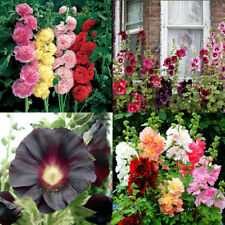 Seeds Hollyhock Mallow Stockrose Mix Giant Annual Flower Beautiful Organic
