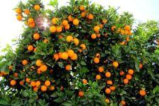 Pianta Arancio  2 anni