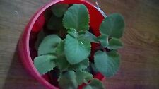 Cuban Oregano in Coffee container Plus 6 Bare Roots