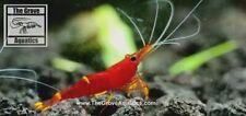 5+1 Yellow Stripe Sulawesi Shrimp Ornamental Dwarf Shrimp