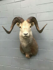 Taxidermy Awesome FANNIN=STONE SHEEP Sho. Mount Log Cabin Hunting Lodge Decor #B