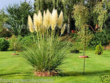 PAMPAS GRASS - WHITE FEATHER - 200 seeds - Cortaderia selloana - PERENNIAL