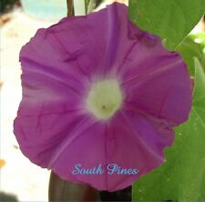 Pink Lady - Japanese Morning Glory - 6 Seeds - ipomoea Nil - *NEW* LIMITED
