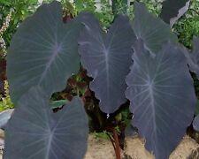 colocasia esculenta black magic 20cm   plante bassin 1.80 m