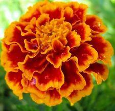TANGO MARIGOLD Tagetes mahogany-yellow flowers plant - 6-cell seedling punnet