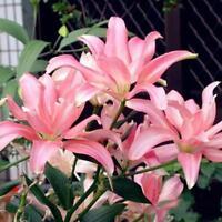 100 stücke Seltene Asiatische Lilie Lampen Samen Pflanzen Lilium Parfüm Blume