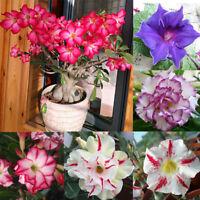 5Pcs Desert Rose Seeds Adenium Obesum Flower Bonsai Tree Plant Decor Garden New