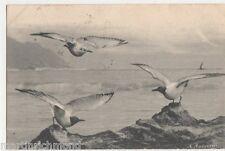 Birds, M. Andreossi, 1903 Art Postcard #4, B558