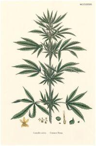 Cannabis Sativa (Common Hemp) : Botanical Illustration :  Archival Quality Print