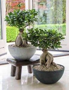 Ficus microcarpa ginseng Bonsai House Plant in a 6 cm Pot 25 cm height