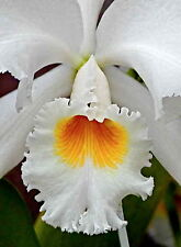 Cattleya gaskelliana var. alba ´Kathleen´ Japan Selection Orchidee Orchideen