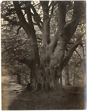 Europe, étude pour peintre, un arbre centenaire  Vintage albumen print Tirag