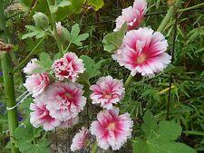 HOLLYHOCK - Alcea Rosea 'FIESTA TIME' - 25 Fresh Seeds - GORGEOUS Blooms!!