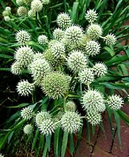 Eryngium yuccifolium (Rattlesnake Master) x 30 seeds