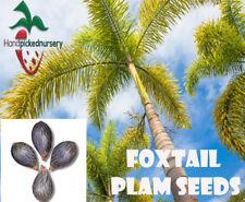 5  Foxtail Palm  seeds, ( Wodyetia bifurcata ) from Hand Picked Nursery
