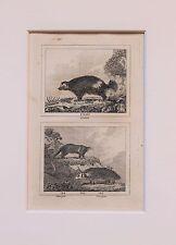 Buffon Antiguo montado impresión c.1800 - grabado-Wolverine, glotón, kincajou