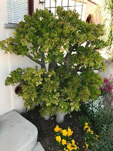 "Huge 8"" Jade Plant Cutting--Crassula Ovata Succulent DEEP GREEN"