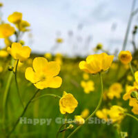 MEADOW BUTTERCUP - 500 SEEDS - Ranunculus acris - wildflower Perennial