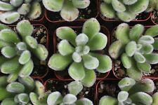 "jiinz 2"" Beautiful Echeveria Doris Taylor Woolly Rose Succulent Item# 201"