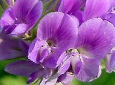 100+ Alfalfa Purple Medicago Sativa / Ground Cover Perennial Flower Seeds