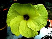 """gelbe Malve  """"Abelmoschus esculentus"""" Malve, Hibiskusart mit Riesenblüten 25 cm"""