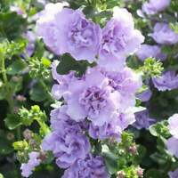 25 Blue Bacopa Hollyhock Seeds Perennial Flower Garden Flowers Seed Spring 78