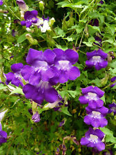 TWINING SNAPDRAGON - Asarina scandens - 10 seeds - RARE - CLIMBING VINE FLOWER