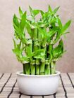 Lucky Bamboo Plant 10 Stalks Feng Shui LIVE PLANT Wedding Favors indoor plants
