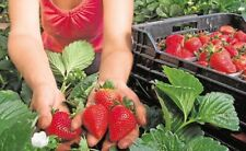 *NEW* 120 +STRAWBERRY * GIANT* ,LARGEST FRUIT , EVERBEARING SEEDS!