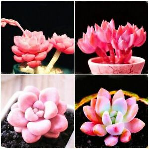 Pink Succlents Seeds DIY Plant Potted Flowers for Home Garden Courtyard UK STOCK