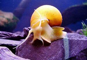 Golden Apple Snail- Mystery 4 Baby's