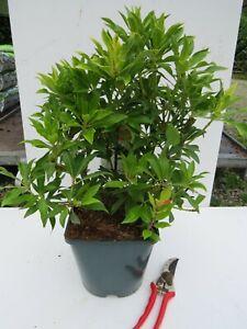 Pieris japonica 'Forest Flame' - good sized plant 4.5L pot