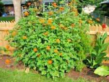 1 Oz=2800+Mexican Sunflower Seeds Hummingbirds Butterflies Bee's Summer to Fall