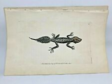 Broad-Tailed Lizard - 1783 RARE SHAW & NODDER Hand Colored Copper Engraving