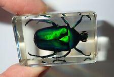 Black Stripe Green Rose Chafer Beetle small Amber Clear Block Education Specimen
