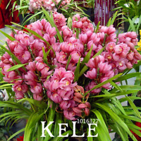 100 PCS Seeds Red Cymbidium Orchid Bonsai Plants Garden Flowers Free Shipping N