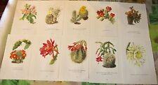 10 illustration Botanique 1960 Walter Kuper les Cactus  Peireskia Grandifolia