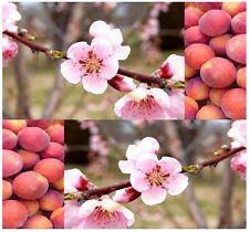 (3) Nemaguard Peach Tree Seeds - Prunus persica nemaguard - Combined S&H