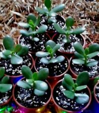 1 Rooted  Jade Plant- Money Tree-In a Plant Pot-Delivered-House Plants