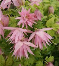 Clematis Waldrebe Country Rose Zocono - *Kletterpflanze Rarität