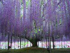 15 Chinese Wisteria -Purple Wisteria Sinensis- Fantastic Tree Fresh Seeds Bonsai
