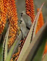 50 Aloe ferox CACTUS SEEDS SEMI VERA KORN AGAVE FIORI korn semi seeds