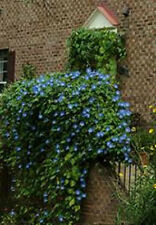 Morning Glory Clarke's Heavenly Blue 25 Seeds Sky Blue Climbing Vine Free Ship!
