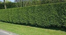 Leylandii Shrubs & Hedges