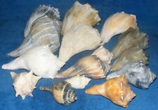 "Lot of 15 Conch Shells Seashells Left Hand Black 3""- 9 1/2"""