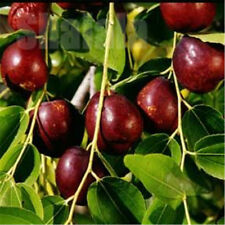 20 Seeds /Pack Ziziphus Mauritiana Fruit Tree Seeds Chinese Red Date Jujube Pot