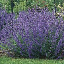2 X LITRE POTS  NEPETA  FAASSENII SIX HILLS GIANT PLANTS  PERENNIAL CATMINT