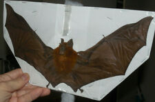 SPREAD WINGS HIPPOSIDEROS BICOLOR REAL BAT INDONESIAN TAXIDERMY