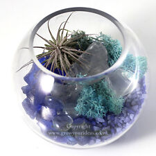 Air plant Kit in glass Terrarium with blue theme featuring Red Rubra Ionantha.